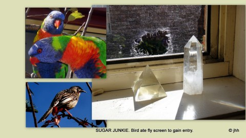 Lorikeet chewed through kitched fly screen to seek raw sugar from a bowl inside the house.