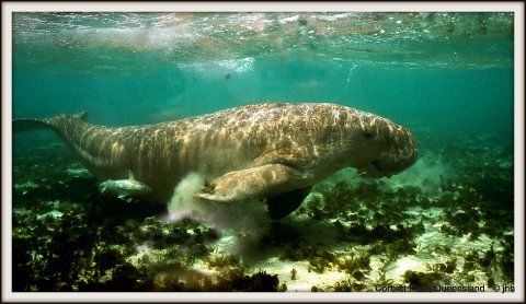 Dugong are not held in captivity - some people mistake them for 'deformed dolphin' - believe it or don't. We need more knowledge of the sea in the media.
