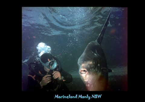 Vic Ley caught this sunfish for Marineland off the northern entrance to Sydney Harbour.